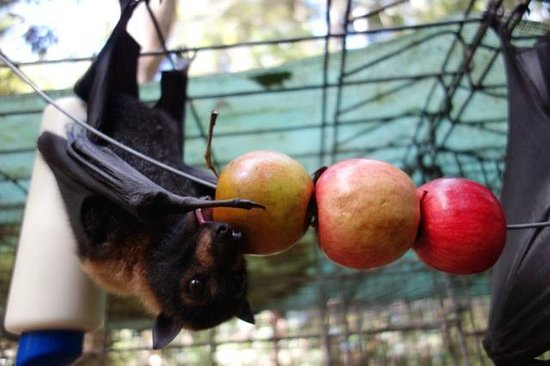 Atherton, Australien: a young flying fox is chewing on an apple