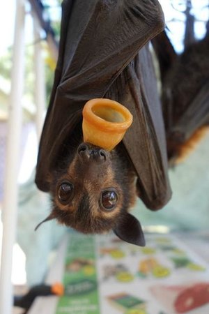 The Bat Hospital Visitor Centre : baby flying fox with pacifier