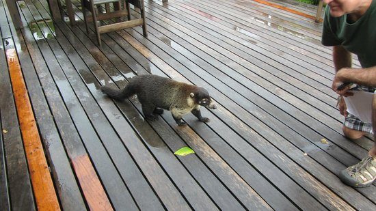 "Arenal Lodge: This is a coati- likes ""Happy Hour"""