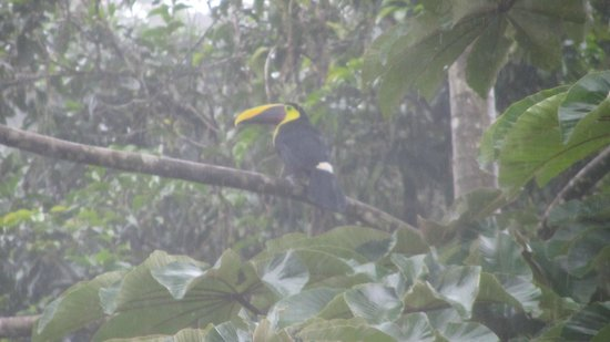 Arenal Lodge: toucan in tree outside room