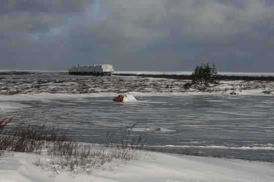 Great White Bear Tundra Lodge