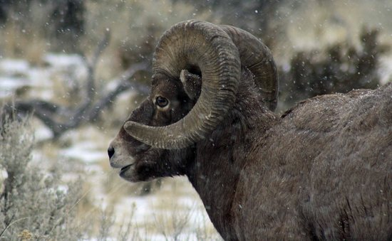 Shoshone River: ram up close