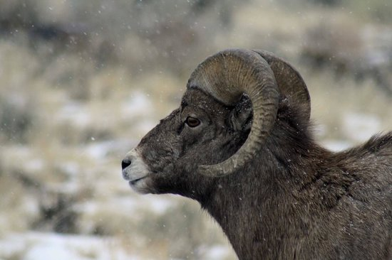 ‪‪Wyoming‬: young ram