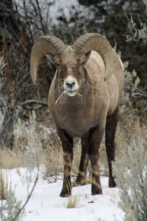 Wyoming: ram enjoying lunch