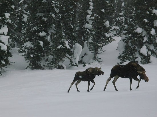 Powder King Mountain Resort: some moose on the first run of the day