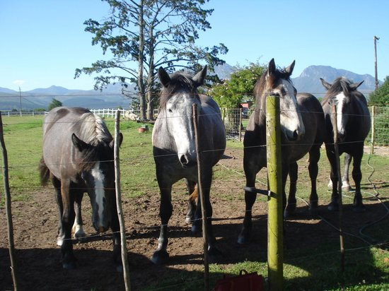 Outeniqua Moon Percheron Stud and Guest Farm: Beautiful horses up close