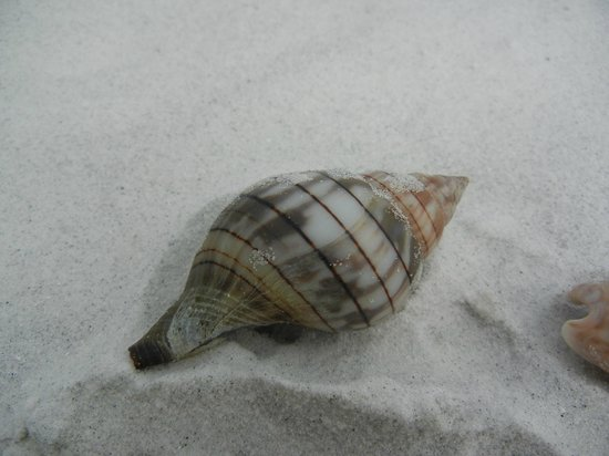Tierra Verde, FL: Too bad we had to leave this-a crab took ownership of this shell