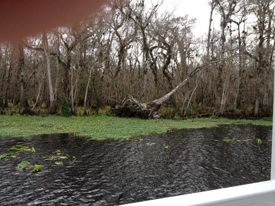 Blue Heron River Tours : a fallen cypress that was over 100 yrs old