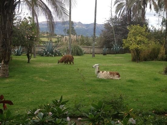 Las Palmeras Inn: Cute llamas on the property.