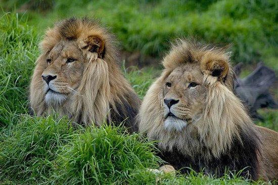 Lions at Werribee Open Range Zoo