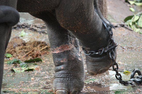 Pinnawala Elephant Orphanage: Baby calf, look at the pink legs where the chains have cut his other leg.