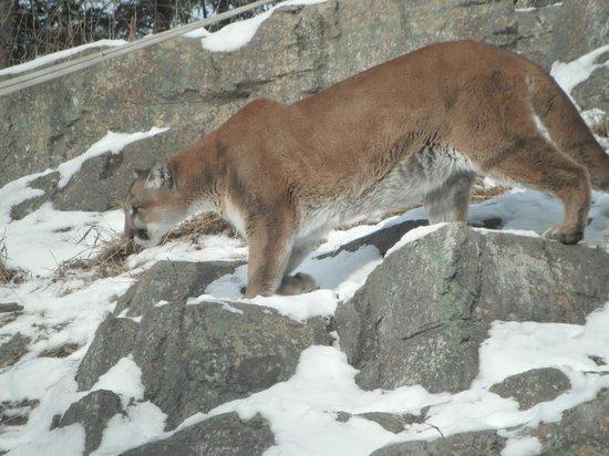 Calgary, Kanada: Cougar dans la neige