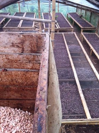 Mindo Canopy Adventure: cocoa beans drying and fermenting