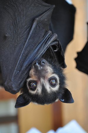 The Bat Hospital Visitor Centre : Spectacled flying fox baby