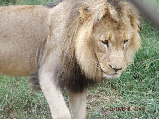 Tremisana Game Lodge: Male lion