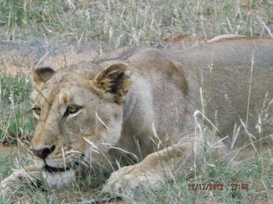 Tremisana Game Lodge: Lioness