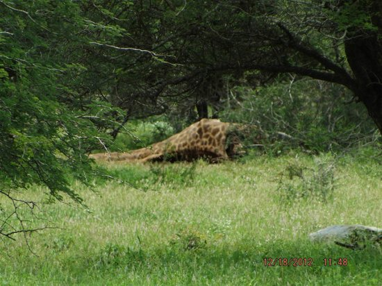 Tremisana Game Lodge: Giraffe kill (17 lionesses)