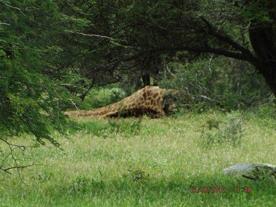 Tremisana Game Lodge: Giraffe kill (17 lionesses) 