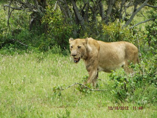 Tremisana Game Lodge: Lioness coming from kill