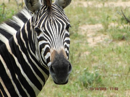 Tremisana Game Lodge: Zebra