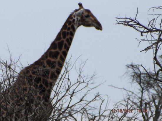 Tremisana Game Lodge: Giraffe