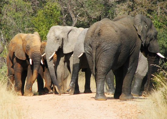 Kwa Maritane Bush Lodge: Elephants in the Reserve