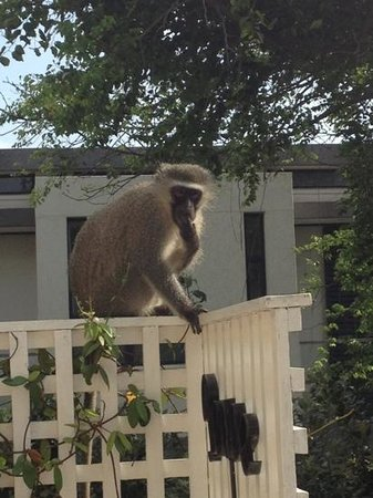Valdior : A monkey on the balcony