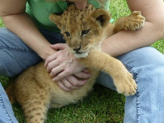 Playing with baby lions - Picture of Horseback Africa ...