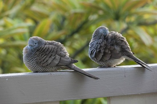 Aston Islander on the Beach: Friendly zebra doves on my lanai