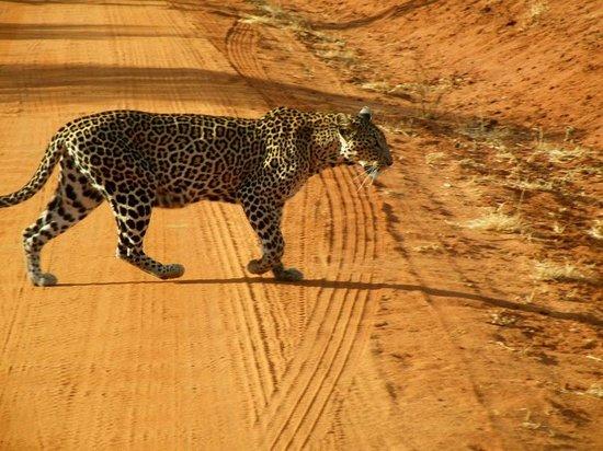 in2kenya leopardo Tsavo Est