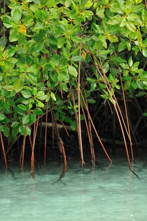 Raja Ampat Dive Lodge: Healthy mangrove protects our beach