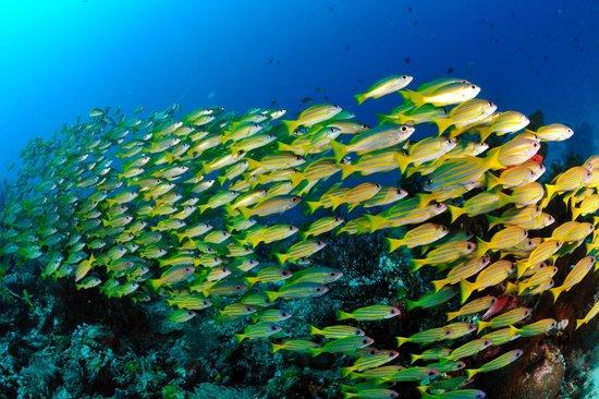 ราชา อัมปัต ไดฟ์ ลอดจ์: Schooling fish
