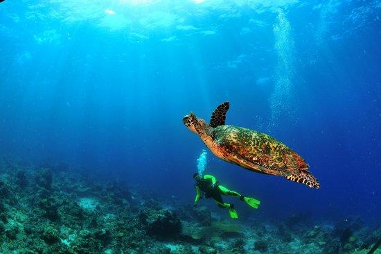 ราชา อัมปัต ไดฟ์ ลอดจ์: Happy turtle and diver