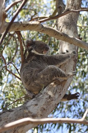 Seascape Lodge on Emu Bay: koala!