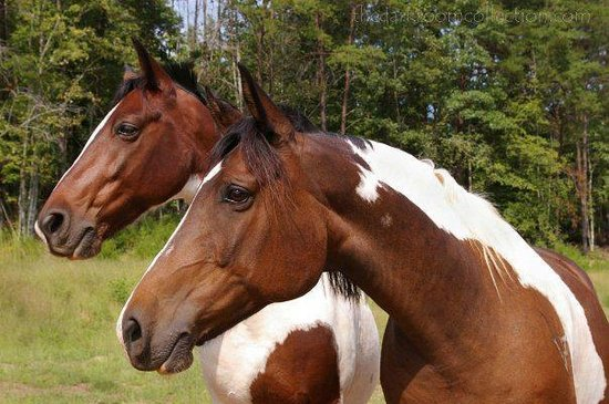 Lake Lure, Carolina del Norte: Tiger and Cherokee two of our paint horses