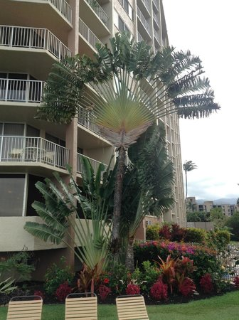 Royal Kahana: A Fan Tree