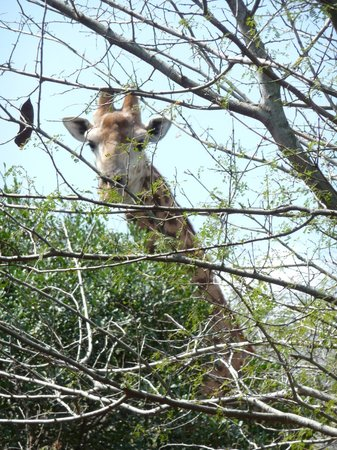 Bushwillow Collection: Curious giraffe