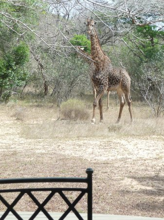 Bushwillow Collection: Giraffe in clearing by our veranda