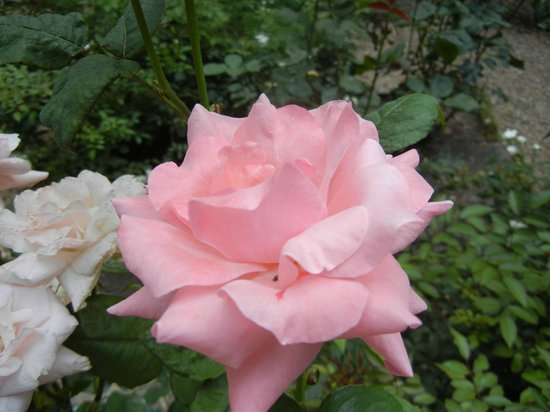 Elizabethan Gardens: Some pretty roses