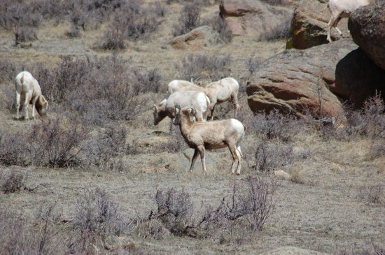 Big Horn Sheep behind Wildwood Inn