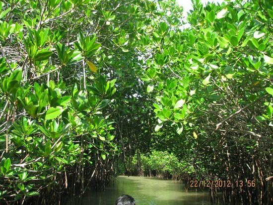 Pichavaram Mangrove Forest : Lots of Green