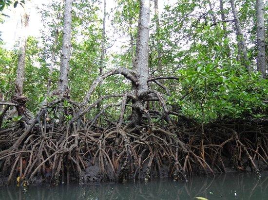 Puerto Princesa Underground River : Mangrove Forest part of park