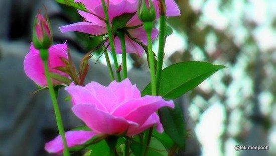 The Dara Pirom Palace: กุหลาบจุฬาลงกรณ์ ดอกใหญ่ สีสวยหวาน