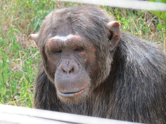 Ol Pejeta Conservancy: Visit the chimpanzee sanctuary!