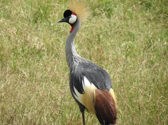 Ol Pejeta Conservancy: Grey crowned crane?