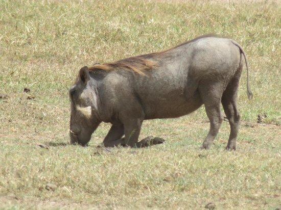 Ol Pejeta Conservancy: Warthog