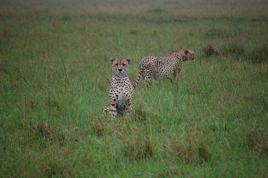 andBeyond Kichwa Tembo Tented Camp: Cheetah brothers