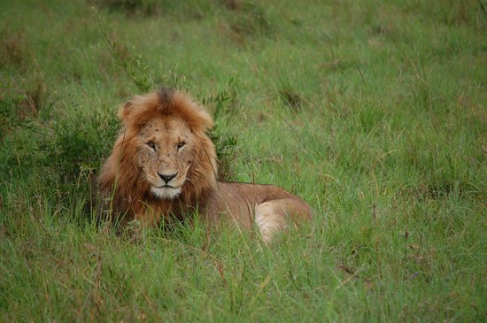 andBeyond Kichwa Tembo Tented Camp: Lions seem used to vehicles and people