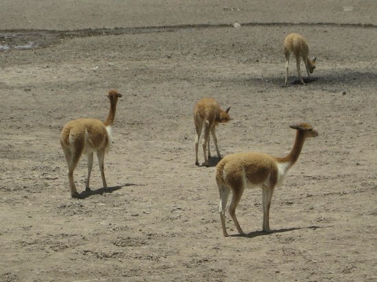 Salinas y Aguada Blanca National Reserve: Close-up view of the vicunas