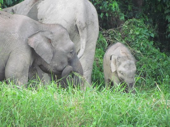 Borneo Nature Lodge: The local Pygmy Elephant